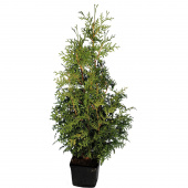 Туя Брабант (thuja occidentalis brabant) H80